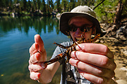 A crayfish pinches a finger at Secret Lake. We hiked Leavitt Meadows Loop clockwise (8.9 miles with 1570 ft gain with ridge extension above Lane Lake) in Hoover Wilderness, Humboldt-Toiyabe National Forest, California, USA. Trailhead is at Leavitt Meadows Campground, 38.33401 N, 119.55177 W. Staying below 8000 ft elevation, this makes a good training hike. The best ambiance is at Secret Lake. Roosevelt and Lane Lakes provide nice views.