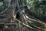Strangler Fig Tree, Ficus sp, Rio Tigre Jungle, Iquitos, Peru, Amazonian, large roots, big,. .South America....