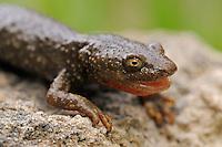 Pyrenean brook salamander; Calotriton asper, Pal, Andorra