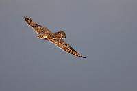 Short-eared Owl in flight, Bagerova Steppe, Kerch Peninsula, Crimea, Ukraine
