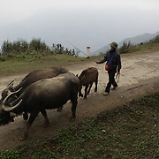 A man herds his water buffalo in the highlands near Sapa. Northern Vietnam. Sapa and the surrounding highlands are close to the Chinese border in Northern Vietnam and is inhabited by highland minorities including Hmong and Dzao groups. Sapa is now a thriving tourist destination for travelers taking the night train from Hanoi. Sapa, Vietnam. 16th March 2012. Photo Tim Clayton