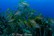 schoolmaster snappers, Lutjanus apodus, Glover's Reef, Belize, Central America ( Caribbean Sea )