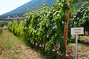 Vines. Negoska vine variety. Biblia Chora Winery, Kokkinohori, Kavala, Macedonia, Greece
