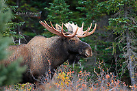 Bull moose portrait in the Canadian boreal forest, northern Alberta, Canada