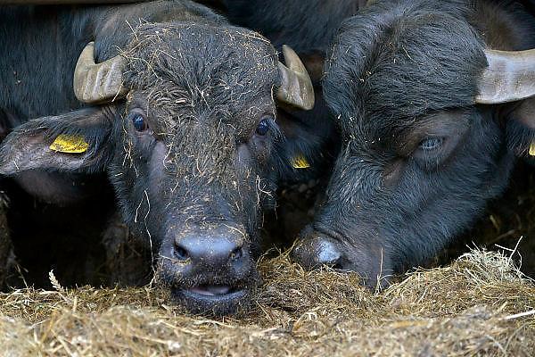 Nederland, Didam, 9-2-2015 Waterbuffels op een veehouderij waar mozzarellakaas wordt gemaakt. FOTO: FLIP FRANSSEN/ HH