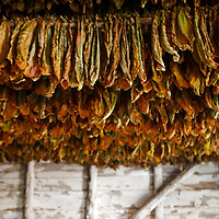 Central America, Cuba, Pinar del Rio, San Luis. Drying tobacco leaves for cigars at Finca Robaina plantation.