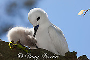 white tern or fairy tern, Gygis alba rothschildi, pulling chick under its breast to brood it, Sand Island, Midway, Atoll, Midway Atoll National Wildlife Refuge, Papahanaumokuakea Marine National Monument, Northwest Hawaiian Islands, USA ( Central North Pacific Ocean )