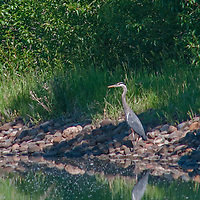 A Great Blue Heron (Ardea herodias) patiently waits for a fish to swim past in a Montana pond.