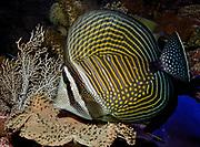 Indian Ocean Sailfin Tang, Zebrasoma desjardinii.