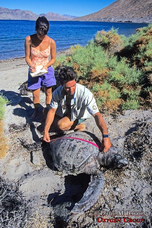 Rachel Nixon & Jeff Seminoff Measuring Dead Turtle