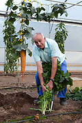 Ian Neale, 67, retired,  seen here with his swede, takes his hobby extremely seriously; He works up 80 hours a week on his land and spends a  £1000 a year on fertilisers. He once held a world record for a swede weighing in at 81.5lb but lost it eight hours later to someone in Alaska. Giant vegetable growing is not a hobby for the faint hearted. The growers have to tend to the vegetables almost every day (including Christmas) tending, nurturing, growing and spending thousands on fertilisers, electricity and green houses. The reward is to be crowned world record holder of largest, longest or heaviest in class, cabbages weighing in at 100lb, carrots stretching 19 ft and pumpkins tipping the scales at 800lb. It's a competitive business though and global; some times the record may stand for only hours before a fellow competitor, as in Ian's case, knocks a grower off the coveted spot.