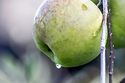 Close up of Raindrops on an apple on a tree Photographed in Giethoorn a town in the province of Overijssel, Netherlands It is located in the municipality of Steenwijkerland, about 5 km southwest of Steenwijk. As a popular Dutch tourist destination both within Netherlands and abroad,