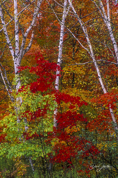 Red maple foliage with birch tree trunks, Pointe au Baril, Ontario, Canada