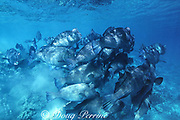 giant bumphead parrotfish, Bolbometopon muricatum,  excrete clouds of sand as they move along the shallow reef, eating living and dead coral, Sipadan Island, Sabah, Borneo, Malaysia ( Celebes Sea, Western Pacific Ocean )
