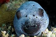 blackspotted puffer or black spotted blow fish, Arothron nigropunctatus,  asleep on the reef at night, Helengeli, Maldives ( Indian Ocean )