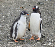 """Gentoo Penguins (Pygoscelis papua), chick and adult, Aicho Island, Antarctica. An adult Gentoo Penguin has a bright orange-red bill and a wide white stripe extending across the top of its head. Chicks have grey backs with white fronts. Of all penguins, Gentoos have the most prominent tail, which sweeps from side to side as they waddle on land, hence the scientific name Pygoscelis, """"rump-tailed."""" As the the third largest species of penguin, adult Gentoos reach 51 to 90 cm (20-36 in) high. They are the fastest underwater swimming penguin, reaching speeds of 36 km per hour."""