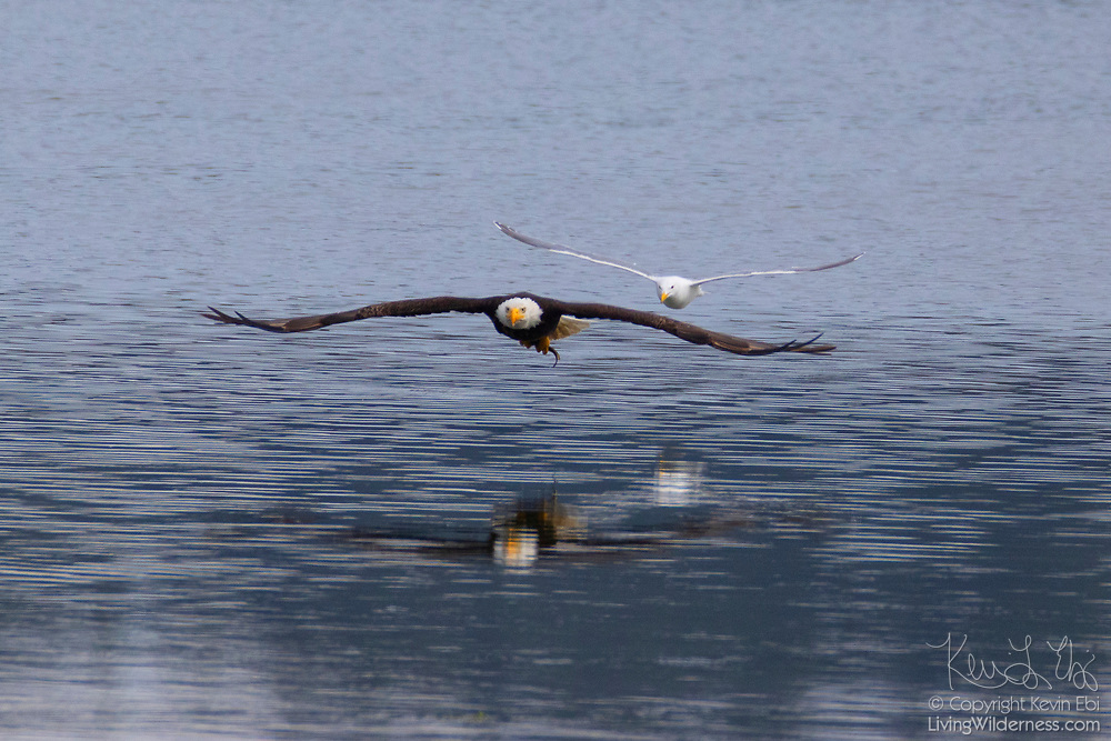 A western gull (Larus occidentalis) chases a bald eagle (Haliaeetus leucocephalus) that just caught a fish in Hood Canal near Seabeck, Washington. Hundreds of bald eagles congregate in the area in the early summer to feast on migrating fish that get trapped in oyster beds at low tide.