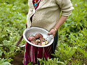 A Brokpa ethnic minority woman holding potatoes covered in earth after harvesting from her vegetable garden in Thagthi village in Eastern Bhutan