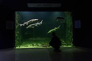 Sturgeons swimming in the popular Danube Delta Eco-Tourism Museum Center aquarium in Tulcea, Danube Delta, Romania (captive).