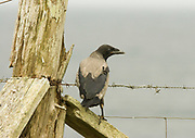 Hooded crow, Corvus corone cornix, juvenile on fence, Sutherland, Highland.<br /> animal; animals; wildlife; bird; birds; grey; gray; crow;<br /> crows; brown; dull; look; looking; watch; watching; alert; <br /> alone; one; single; lone; young; fledgling; landscape;<br /> farm;