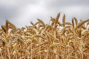 Nederland, Leur, 28-9-2019 Een veld met tarwe, graan wordt door een combine geoogst. Tarweveld, graanveld. Door het droge en warme weer wodrt de tarwe vroeg van het land gehaald en is minder groot . Detail, close-up, associatie,illustratieFoto: Flip Franssen