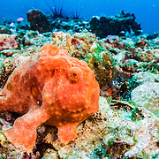Painted frogfish (Antennarius pictus) on the seabed near Malapascua, Philippines.