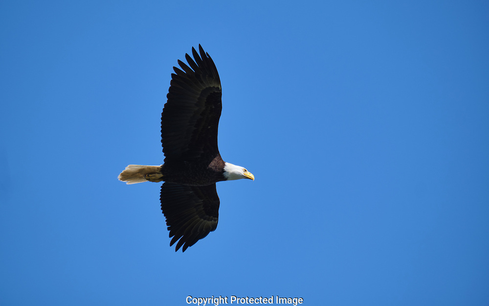 Bald eagles in the Dungeness are of Sequim, WA Monday, May 27, 2019. (Photo/John Froschauer)