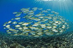 Selar boops, Schwarm von Ochsenaugen-Makrelen, school of Oxeye scads, Bali, Tulamben, Indonesien, Indopazifik, Bali, Indonesia Asien, Indo-Pacific Ocean, Asia