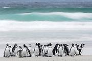 Die Magellanpinguine (Spheniscus magellanicus) sammeln sich bei Niedrigwasser auf der Wattfläche, bevor sie in einer großen Gruppe zu ihren Beutezügen starten. | The Magellanic penguins (Spheniscus magellanicus) gather on the mud flat during low tide before they start their foraging trip.