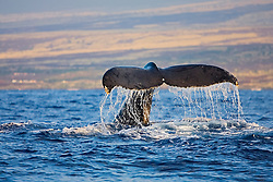 Humpback Whale, fluke-up dive, Megaptera novaeangliae, Hawaii, Pacific Ocean