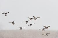 Mallards (Anas platyrhynchos), Lake Tysslingen, Sweden. March 2009. Mission: Sweden (crane and swan)