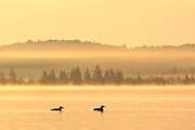 Three common loons (Gavia immer) swim in the early morning mist on Middle Eau Claire lake in northern Wisconsin, USA. Image was taken from a small watercraft.