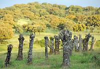 pruned ash trees, in the<br /> Dehesa forests with Pyrenean oak (Quercus pyrenaica)  and Holm oak (Quercus ilex) in Campanarios de Azába nature reserve, Salamanca Region, Castilla y León, Spain