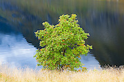 A tree on the shore of Agvatnet Lake above Å, Lofoten Islands, Norway.