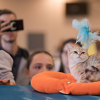 Visitors watch a cat at the international cat show in Budapest, Hungary on Nov. 17, 2019. ATTILA VOLGYI
