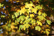 Autumn leaves in London