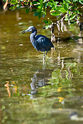Bird Images from The Florids Birding Trail, Everglades National Park