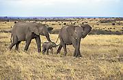 African elephant Cows with calf walking through savannah