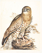 The short-toed snake eagle (Circaetus gallicus), also known as short-toed eagle, is a medium-sized bird of prey in the family Accipitridae, This is an Old World species found throughout the Mediterranean basin, into Russia and the Middle East, and parts of Western Asia, and in the Indian Subcontinent and also further east in some Indonesian islands. 18th century watercolor painting by Elizabeth Gwillim. Lady Elizabeth Symonds Gwillim (21 April 1763 – 21 December 1807) was an artist married to Sir Henry Gwillim, Puisne Judge at the Madras high court until 1808. Lady Gwillim painted a series of about 200 watercolours of Indian birds. Produced about 20 years before John James Audubon, her work has been acclaimed for its accuracy and natural postures as they were drawn from observations of the birds in life. She also painted fishes and flowers. McGill University Library and Archives