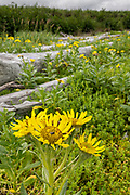 Beach Sunflowers blooming at the McNeil River State Game Sanctuary on the Cook Inlet, Alaska. The remote site is accessed only with a special permit and is the world's largest seasonal population of brown bears in their natural environment.