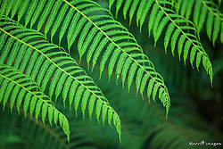 Ferns, Sachatamia Lodge, Mindo, Pichincha province, Ecuador, South America.  PR