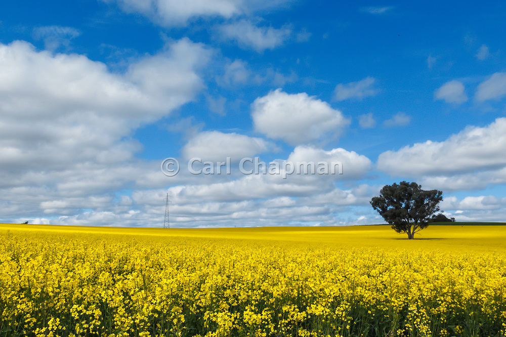 Sun breaks over canola crop in field with tree blue sky with spotted cloud near Cowra, New South Wales, Australia. <br /> <br /> Editions:- Open Edition Print / Stock Image