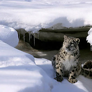 Snow Leopard, (Panthera uncia) Inhabits high mountains of central Asia.Winter. Captive Animal.