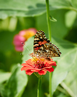 Painted Lady butterfly on a Zinnia flower. Image taken with a Nikon 1 V3 camera and 70-300 VR lens.