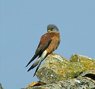 Lesser Kestrel, Male - Falco naumanni