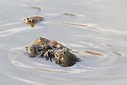Common toads (Bufo bufo) spawning. Surrey, UK.
