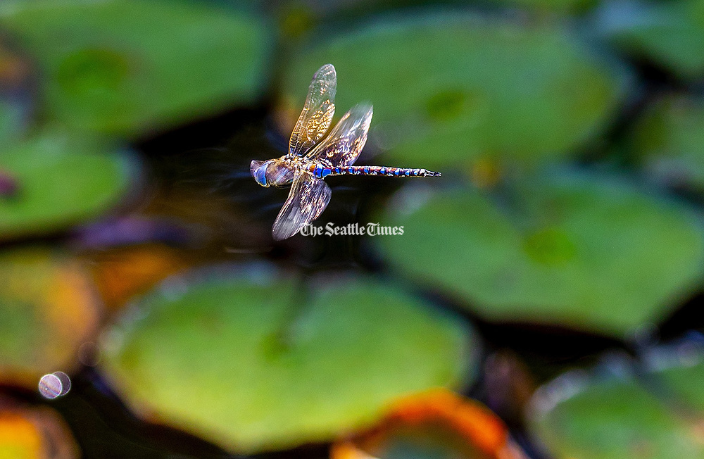 A dragonfly flies over a patch of Lily pads at Martha Lake in Lynnwood. (Mike Siegel / The Seattle Times)