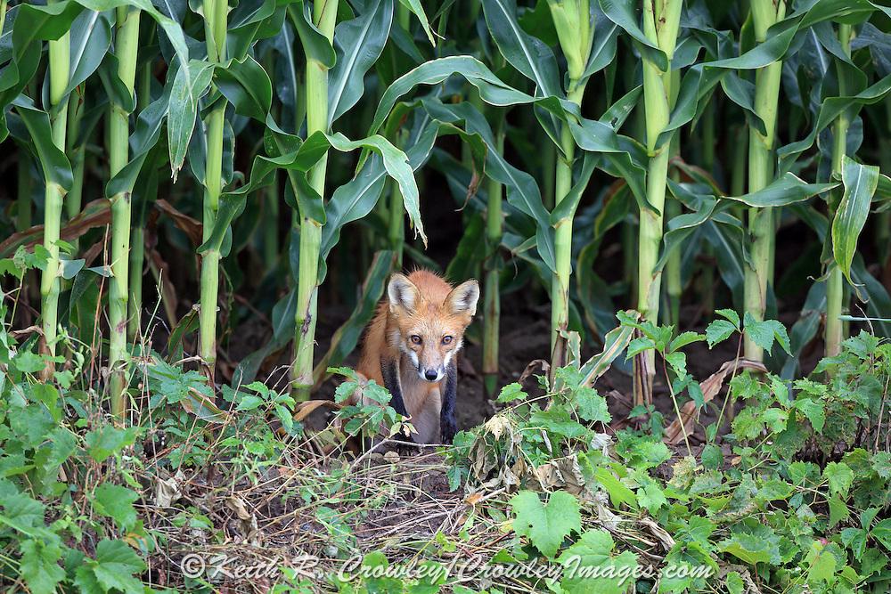 Male Red Fox in Cornfield