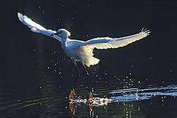 Snowy Egret With Fish, Mrazek Pond