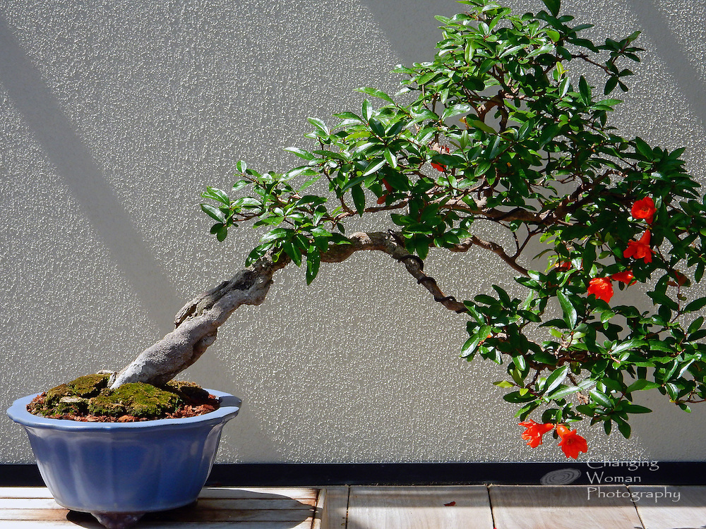 """A bonsai pomegranate tree, festooned with orange blooms, leans away from its blue ceramic pot, its precarious appearance symbolic of balance. Featured in the bonsai collection at Longwood Gardens, Kennett Square, PA, this specimen trained in the shakan, """"slanting,"""" style is reportedly over 100 years old."""